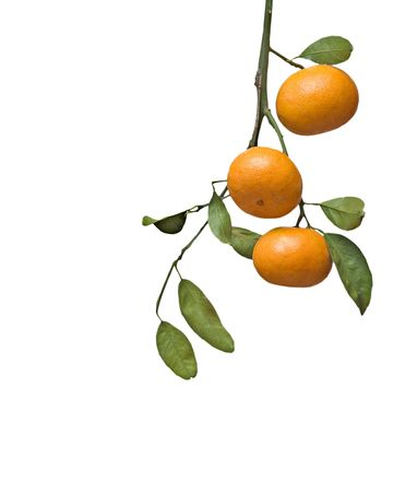 Tangerines on branch Stock Photo - 6272340