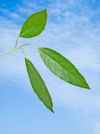 Branch of avocado tree photo
