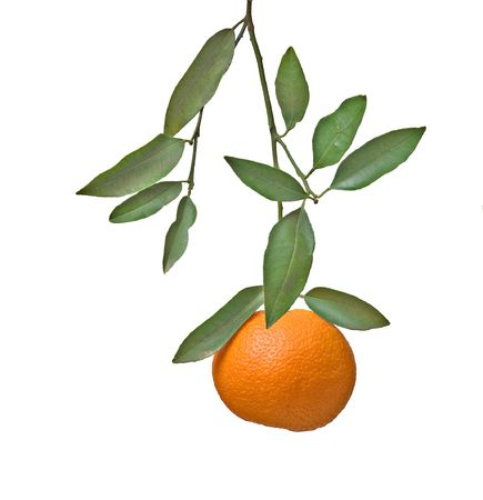 Tangerine on branch photo