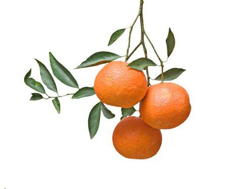 Three tangerines on branch Stock Photo - 6357763