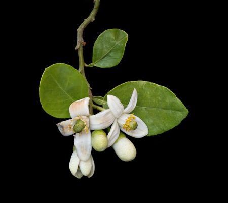 pomelo: flor de pomelo