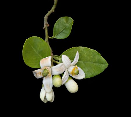 pomelo flower photo