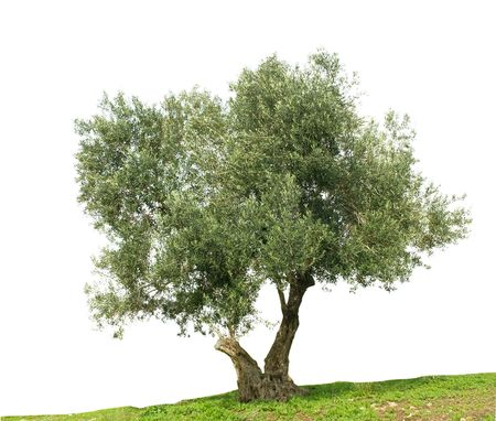 Olive tree isolated on white background Stock Photo
