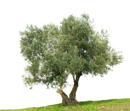 Olive tree isolated on white background Stock Photo