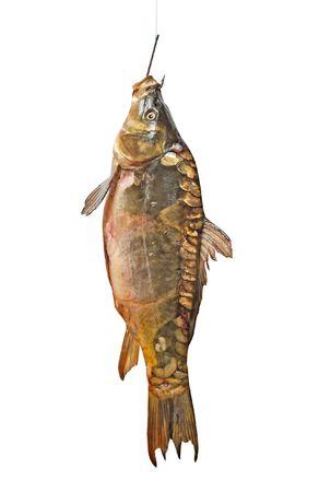 carp on fishing hook isolated on white background Stock Photo - 6710056