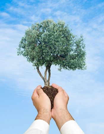 Olive tree  in hands as a symbol of nature protection Stock Photo - 6819437