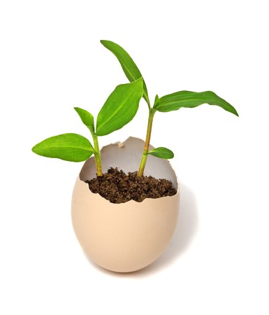 egg plant: Plant hatching from an egg