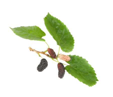 Black mulberries isolated on white background photo