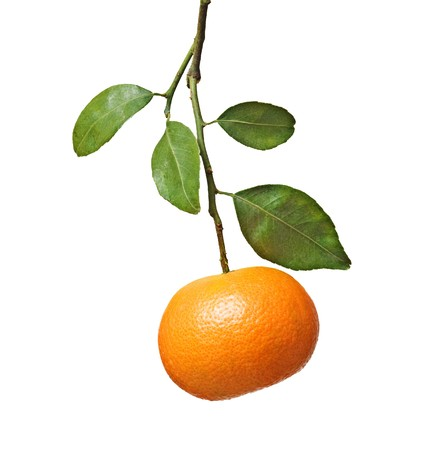 Tangerine on branch Stock Photo - 7001684