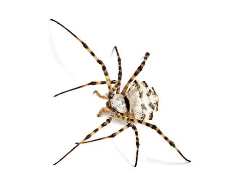 arthropoda: Spider isolated on white background