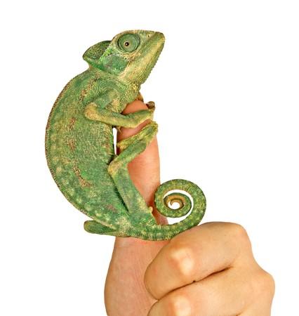 Chameleon on finger photo