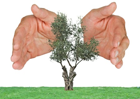 protected tree: Olive  tree protected by hands
