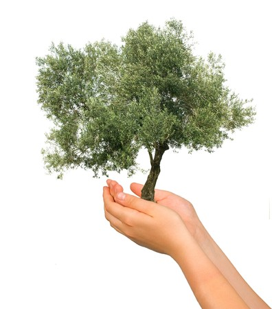 planting a tree: Olive tree as a gift of agriculture Stock Photo