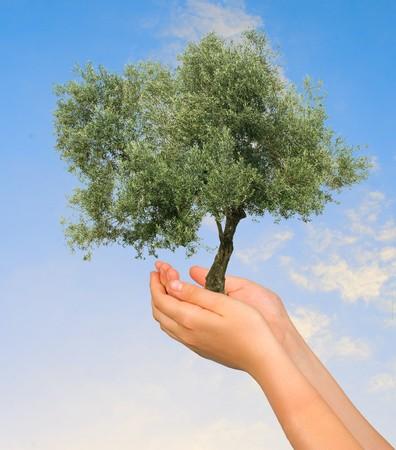 arbol de problemas: Olivo en las manos como un s�mbolo de protecci�n de la naturaleza  Foto de archivo