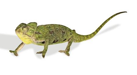 Chameleon isolated on white background photo