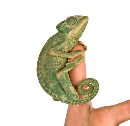 Close up of chameleon sitting on  fingers photo