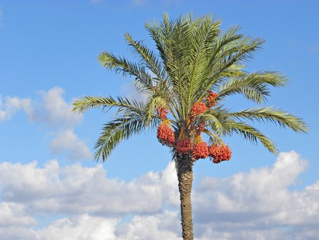 dioecious: date palm