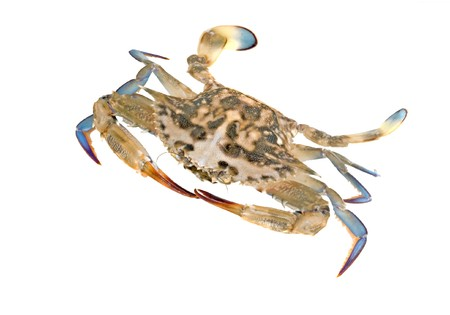 blue swimmer crab: Close up of blue swimmer crab Stock Photo