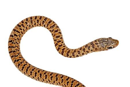 colubridae: Close up of snake  Stock Photo