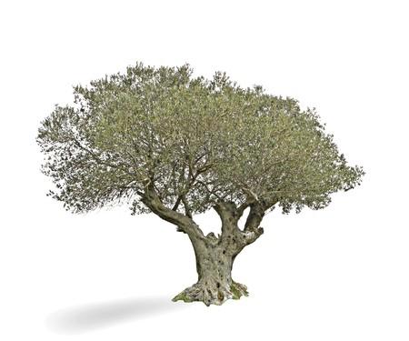olivo arbol: Olivo aislado sobre fondo blanco  Foto de archivo