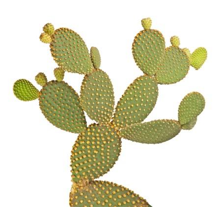 Opuntia cactus isolated on white background photo