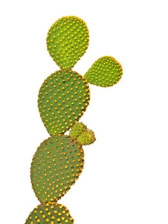 opuntia: Opuntia cactus isolated on white background