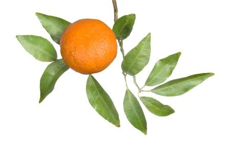 Tangerine on branch Stock Photo - 8624162