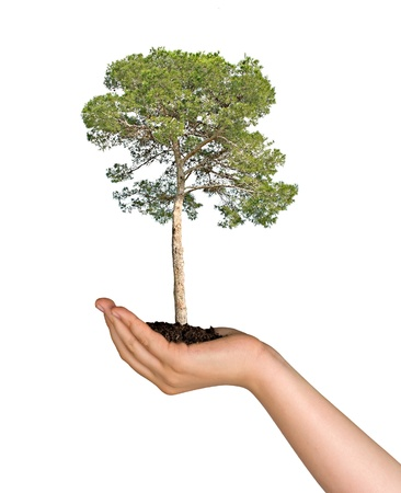 Pine tree in hand as a symbol of nature protection Stock Photo - 8875756