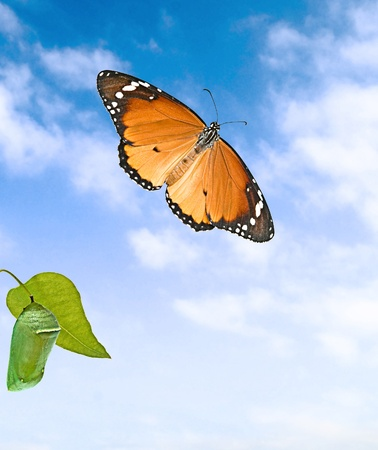 pupae: Monarch butterfly and pupae i