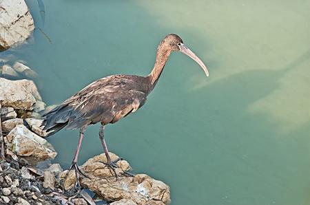 Close up of glossy ibis photo