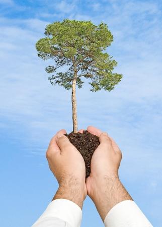 Pine tree in hands photo