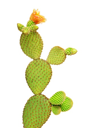 Opuntia cactus isolated on white background Stock Photo - 9539448
