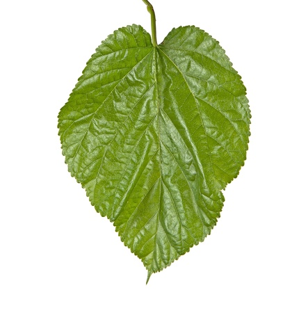 leaf close up: Leaf of mulberry isolated on white background Stock Photo