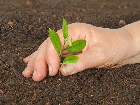 Woman planting citrus sapling photo
