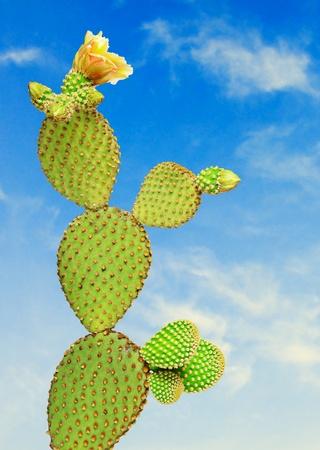 opuntia: Opuntia cactus  Stock Photo