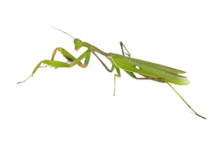 Green mantis isolated on white background photo