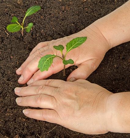 tending: Tending cabbage seedlings