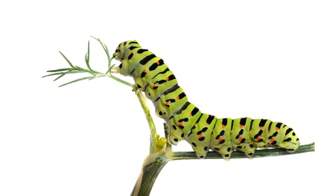 Caterpillar on grass isolated on white background photo