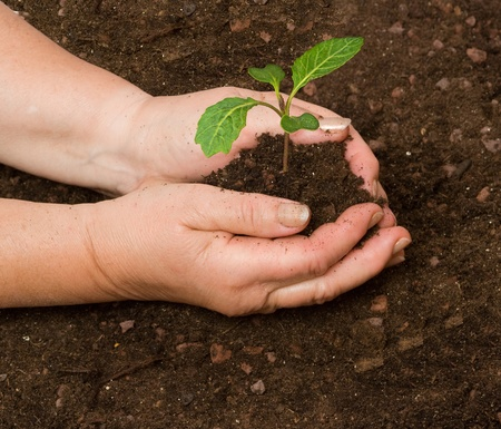 tending: Tending cabbage seedling