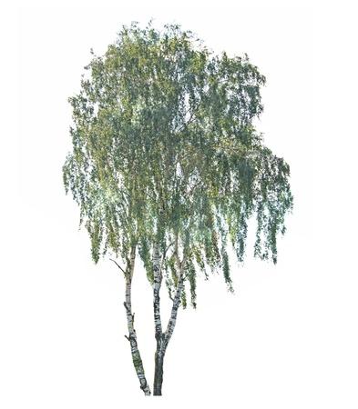 betula: Birch tree isolated on white background