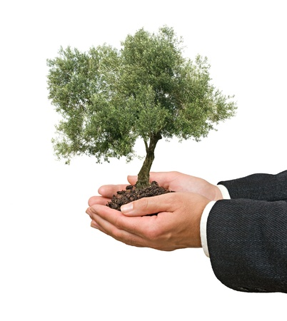 tree planting: Olive tree as a gift of agriculture Stock Photo