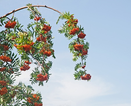 european rowan: European Rowan Stock Photo