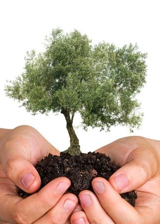 plantando arbol: Olivo en las Palmas como regalo Foto de archivo