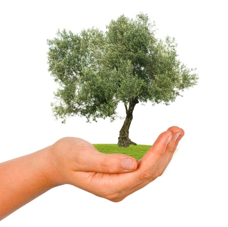 Olive tree in hand as a gift photo
