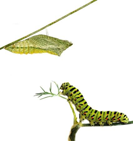 pupae: Close up of caterpillar and its pupae