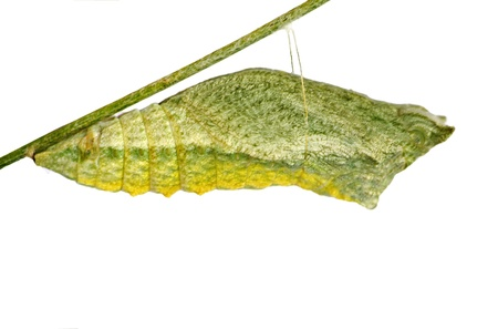 Pupae of  butterfly photo