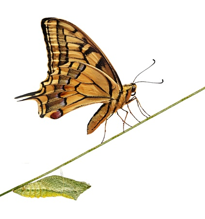 life stages: Close up of caterpillar  and butterfly