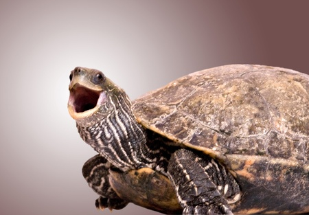 semi aquatic: Turtle with open mouth Stock Photo