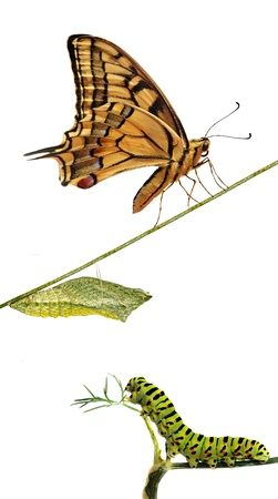Close up of caterpillar , pupae, and swallowtail butterfly Stock Photo