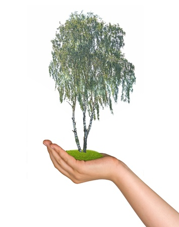 Birch tree in palm as a symbol of nature protection photo